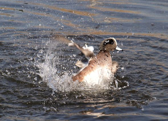 Random duck taking a bath