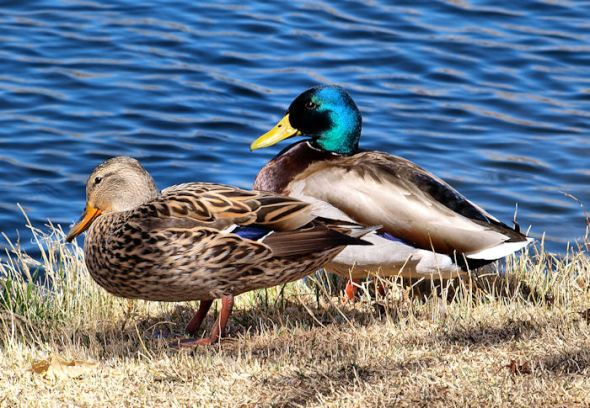 Pair of Mallards--f/9; 1/160; ISO 100