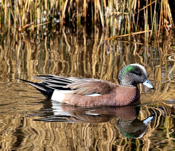 Male Widgeon--f/5.6; 1/500; ISO 100