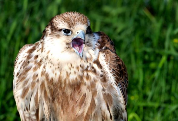 Saker Falcon screeching
