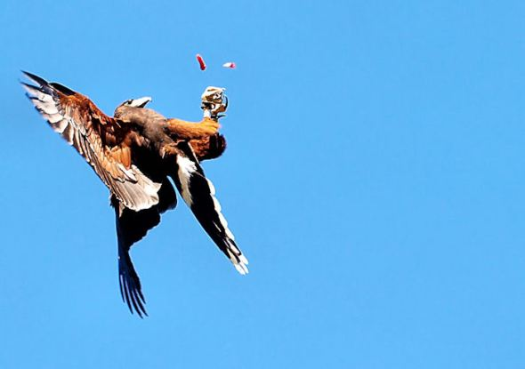 Harris Hawk catching food tidbits from mid-air