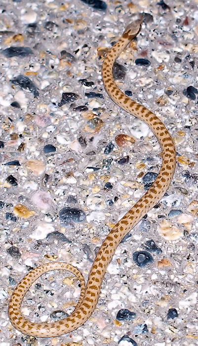 Desert Nightsnake--Hyspiglena torquata deserticola