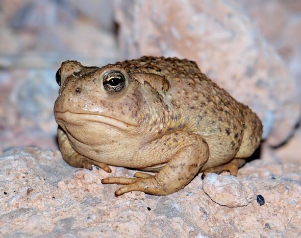 No idea...Possibly a Great Basin Spadefoot...??