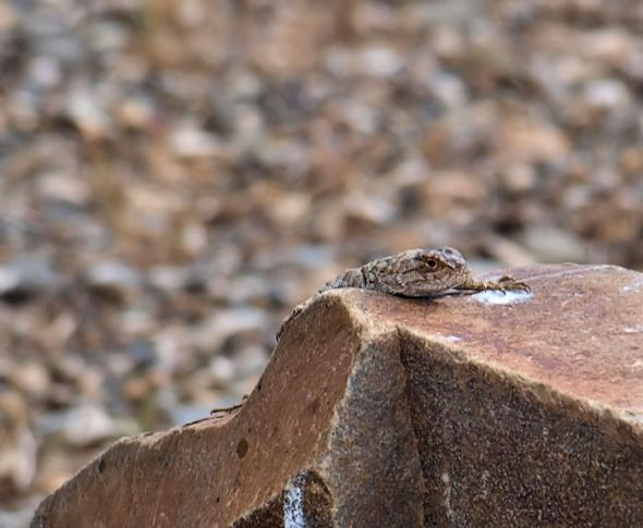 Spiny lizard enjoying the sun.