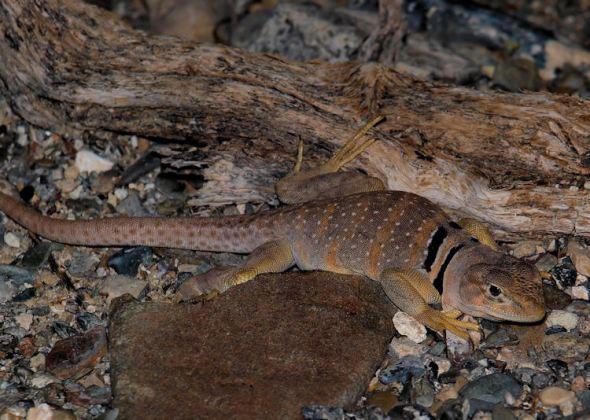 Croaphytus bicinctores--Great Basin Collared Lizard