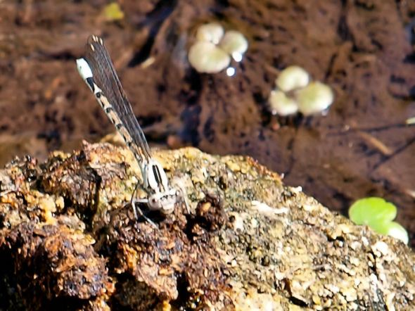 Grey Damselfly