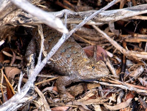 Gravid Spiny Lizard