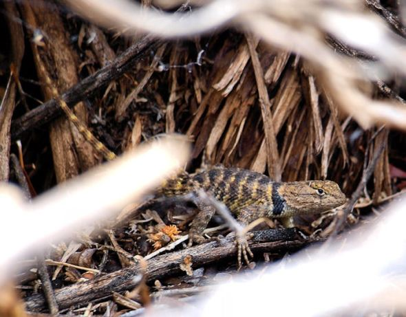 "Small, male Spiny Lizard in ""full bloom""..."