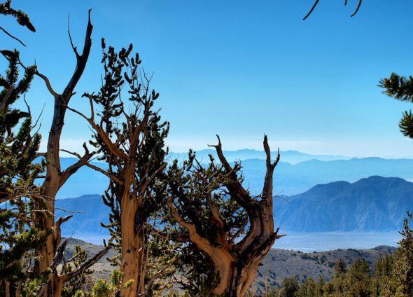 Bristlecone Landscape