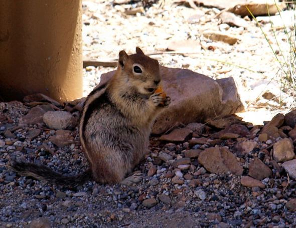 Chipmunk in the parking area