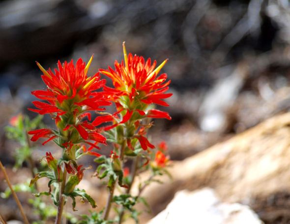 Couple of Paintbrush blooms