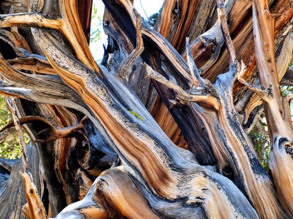 The twisted root system of a Bristlecone Pine