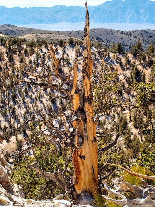 Bristlecone Landscape #2