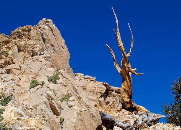 Solitary Pine2