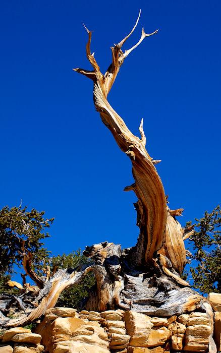 Solitary Pine3