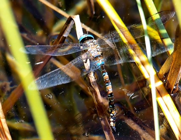 Ovipositing Dragonfly