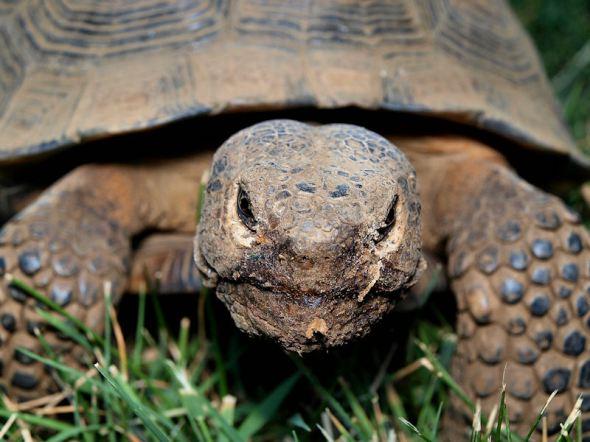 Tortoise Face1