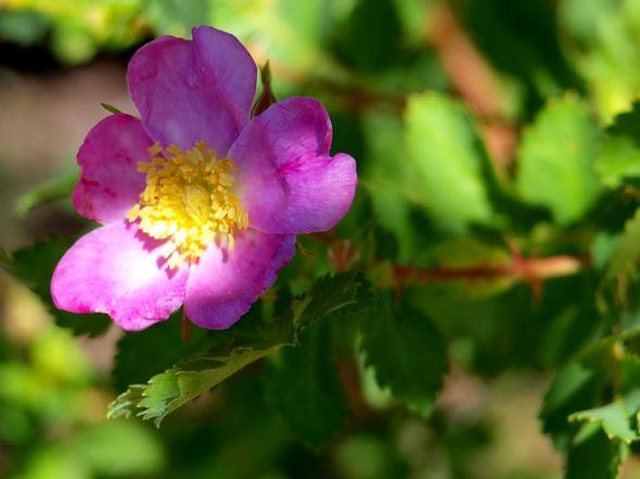Wild Rose1
