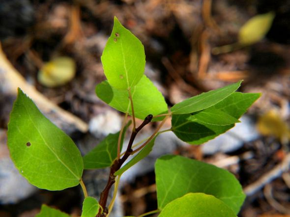 Green Aspen Leaves