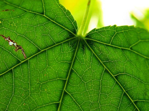 Green Leaf Extreme