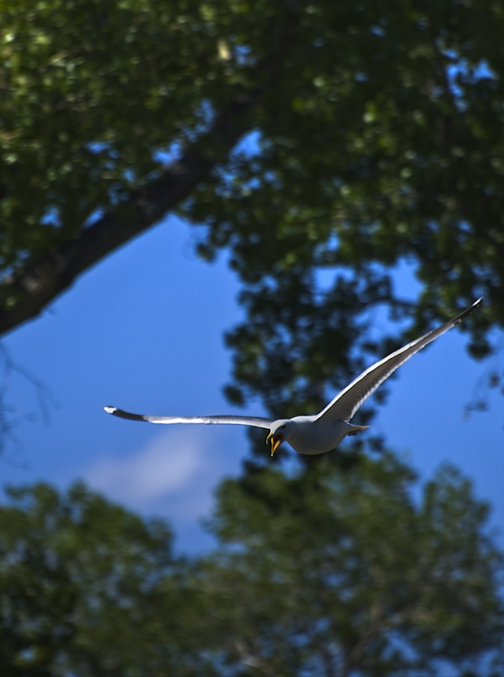 gull in flight2