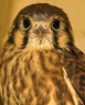 female kestrel1